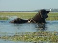 caprivi-elifants-swimming