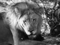 etosha-lion
