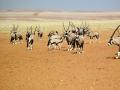 namib-oryx-herd