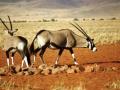 namib-oryx